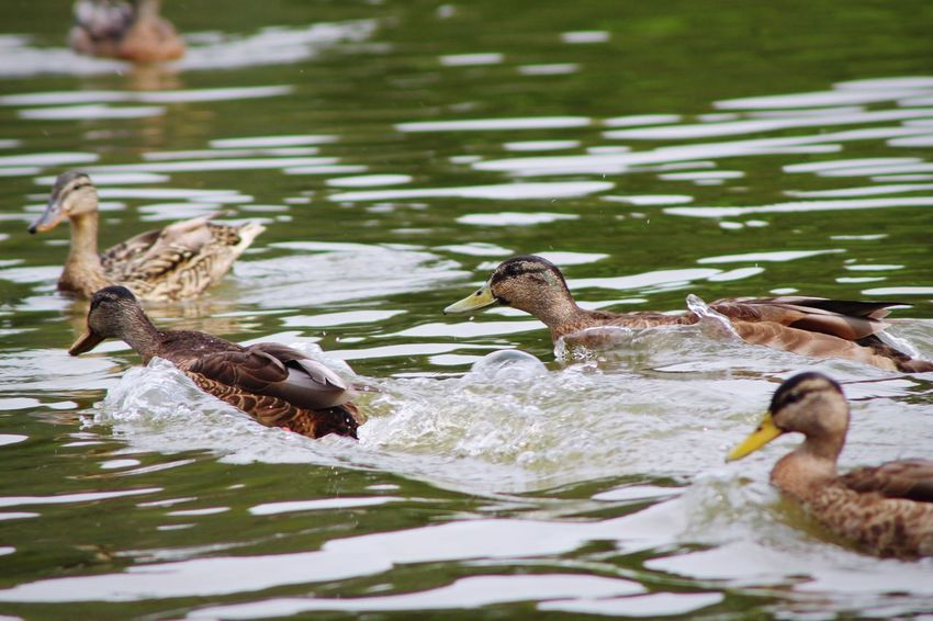Ducks Water Animal Themes Swimming Animals In The Wild Lake Bird Young Bird Nature Young Animal Duck Waterfront Water Bird No People Animal Wildlife Duckling Day Outdoors Togetherness Beauty In Nature Close-up