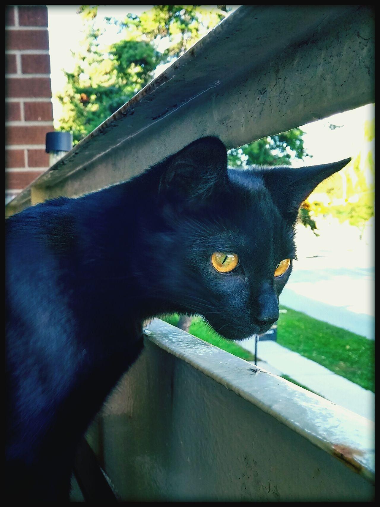 Feline Cat Domestic Cat Pets Domestic Animals Animal Head  One Animal Curiosity Black Cat Black Cats Are Beautiful
