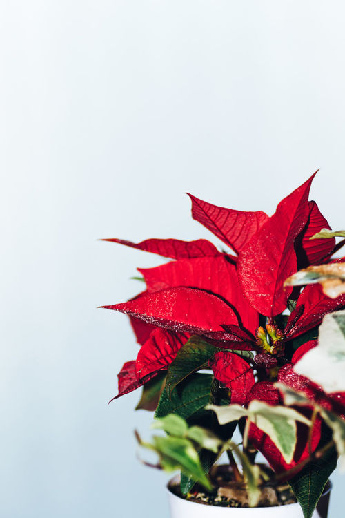 Lighter & Brighter Color Redefining Red Beautiful Nature EyeEm Nature Lover Flower Pot The Week On EyeEm Beauty In Nature Christmastime Close-up Day Flower Flower Head Freshness Leaf Minimalism Minimalistic Nature Naturelovers Outdoors Petal Poinsettia Rose - Flower Studio Shot White Background