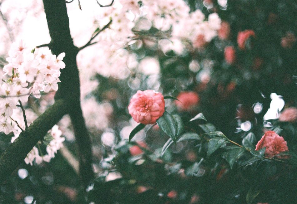 Cherry blossom and Camellia Flower Beauty In Nature Nature No People Springtime Flower Head Close-up Pink Color Bokeh Camellia