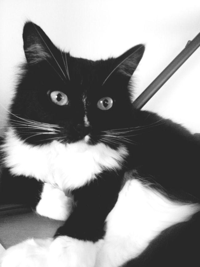 helping me study Pets Keksas Blac&white