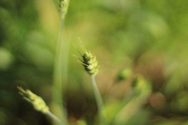 Animal Themes Animal Wildlife Animals In The Wild Beauty In Nature Close-up Day Fragility Growth Insect Nature No People One Animal Outdoors Plant Wheat Wheat Field Wheatgrass