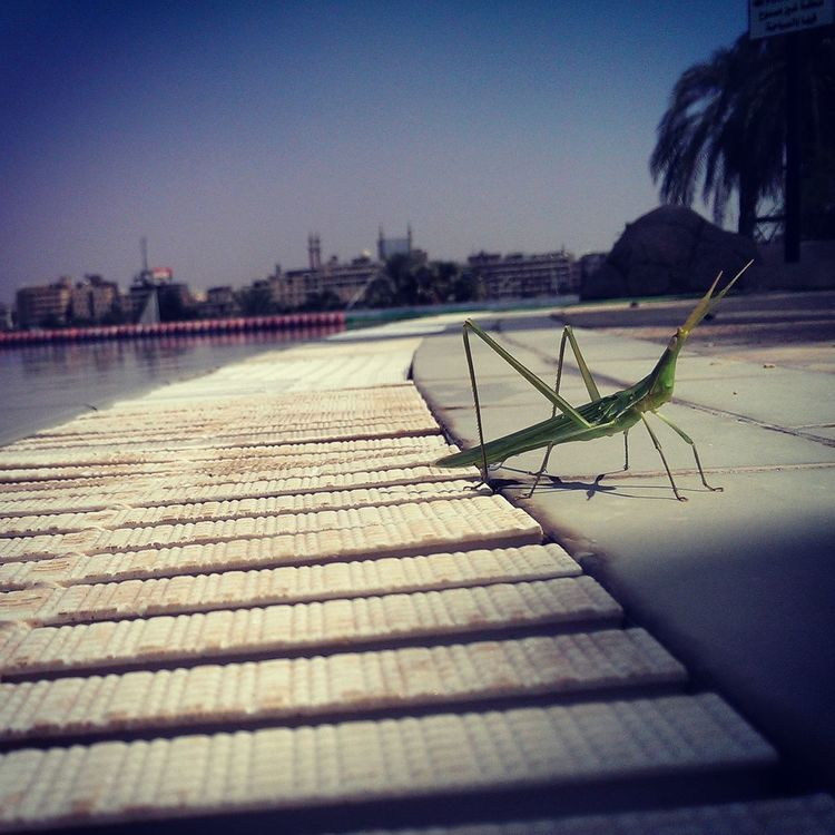 A grasshopper is getting tanned! Grasshopper Swimming Pool Closeupshot Insect Photography Insects  Disambiguation Caelifera Gaudy Grasshopper Closeupshots Your Design Story Beauty In Nature Aswan, Egypt Relaxing Nature's Diversities