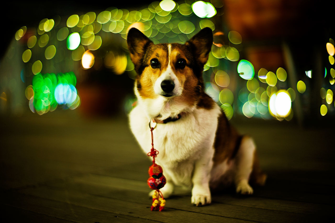 Dog Corgi Welsh Corgi Pochiko Lights Night Lights Nightphotography Illustration Bokeh Balls LeicaM9
