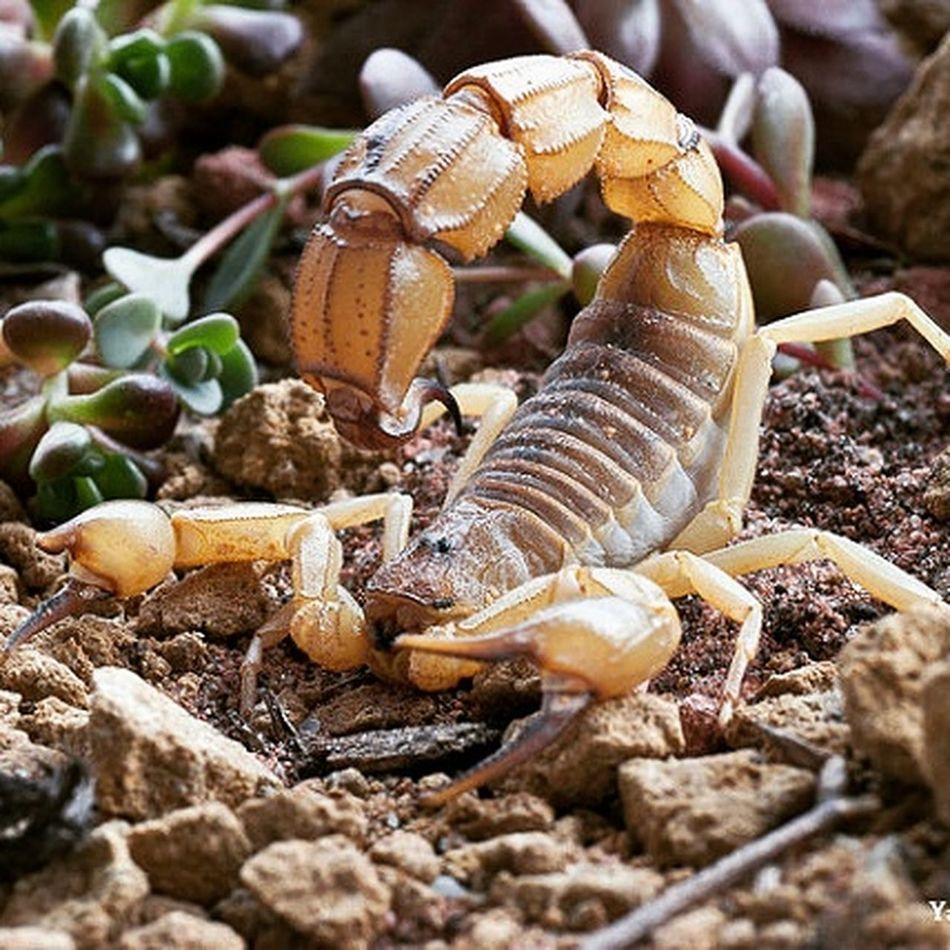 "1.0 Androctonus australis ""australis morph"" (Tunisia). Adult Animal Themes Animal Wildlife Scorpions Skorpion Fattailscorpion Androctonusaustralis First Eyeem Photo"