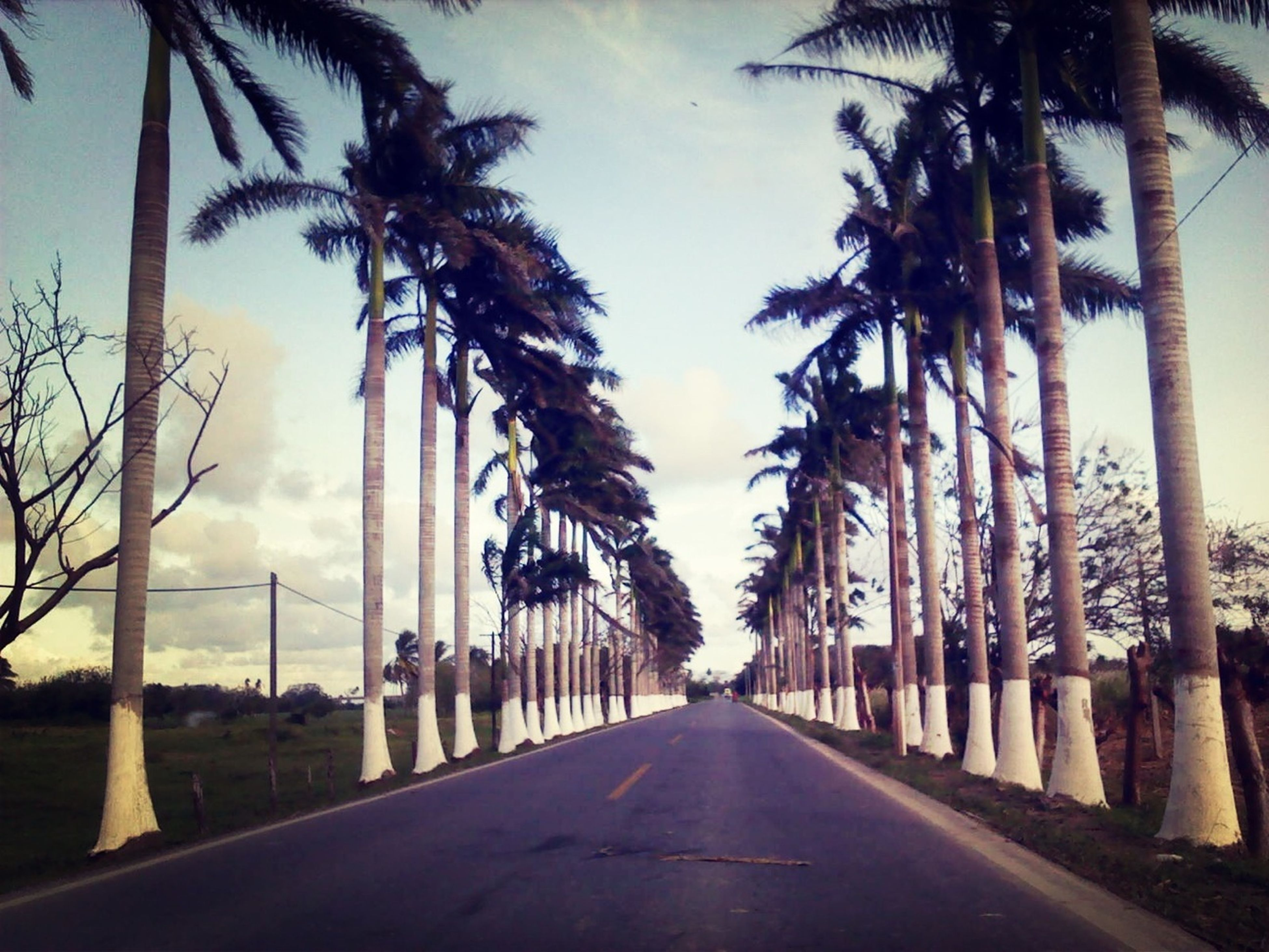 the way forward, diminishing perspective, palm tree, road, vanishing point, tree, sky, treelined, transportation, street, long, empty road, street light, empty, road marking, in a row, built structure, tree trunk, architecture, cloud - sky