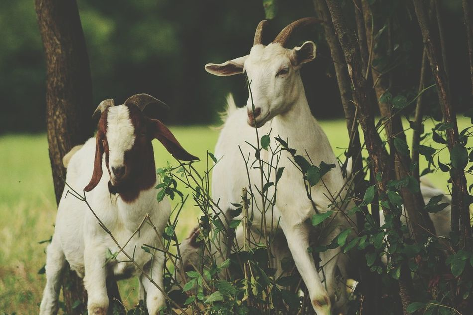 Beautiful stock photos of goat, Animal Themes, Cattle, Day, Domestic Animals