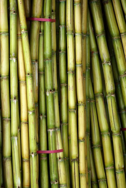 Fresh sugarcane is prepared for juice extraction Agriculture Bundles Fresh Produce Stalks Sugar Cane Sugarcane Sugarcane Juice Sweet Taste