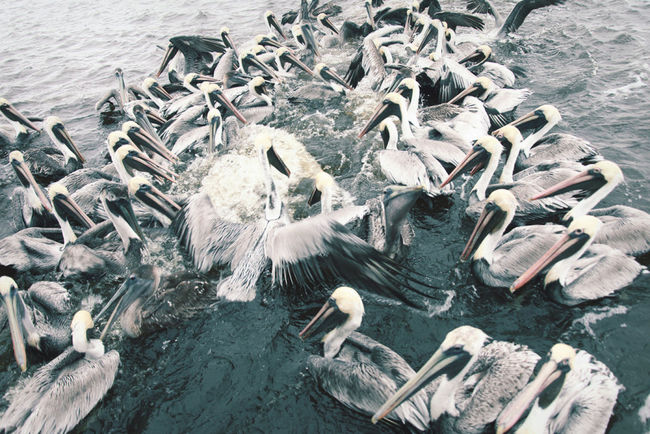 Pelicans feast on the bi-catch of a shrimping boat fisherman. Chaos Day Nature Outdoors Pelicans Shrimping Shrimping Water