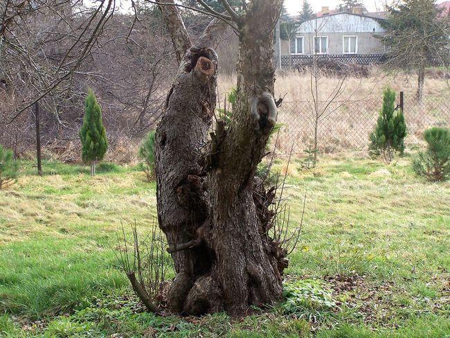 Ein Guter Alter Freund 07.02.16 Belgern Alt Freund Alter Baum Apfelbaum  Denkmal Nicht Gesund Aber Am Leben No People