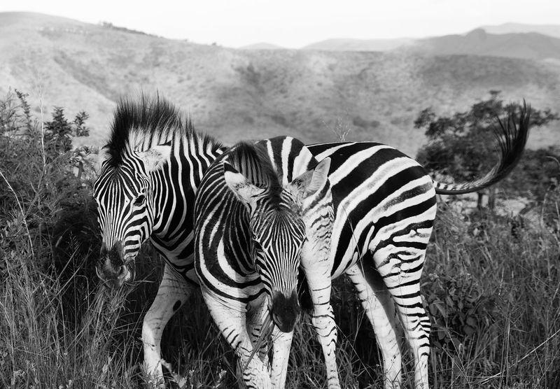 Zebra Animals In The Wild Striped Animal Wildlife Animal Themes Nature Mammal