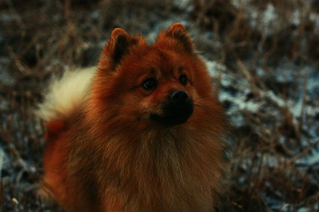 Neo The One Dog Puppy Mittelspitz My Favorite Photo The Great Outdoors With Adobe LDR Finland To  California Happy Snow Cold Winter 2013