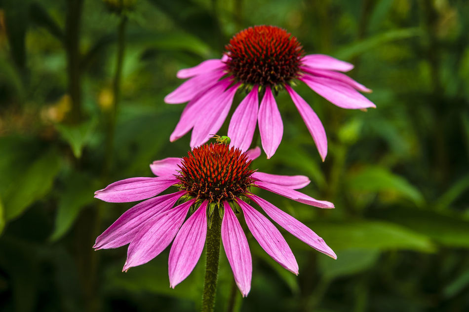 """Echinacea purpurea, commonly called purple coneflower, is a coarse, rough-hairy, herbaceous perennial that is native to moist prairies, meadows and open woods of the central to southeastern United States (Ohio to Michigan to Iowa south to Louisiana and Georgia). It typically grows to 2-4' tall. Showy daisy-like purple coneflowers (to 5"""" diameter) bloom throughout summer atop stiff stems clad with coarse, ovate to broad-lanceolate, dark green leaves. http://www.missouribotanicalgarden.org/PlantFinder/PlantFinderDetails.aspx?kempercode=c600 Beauty In Nature Blooming Close-up Coneflower Eastern Purple Coneflower Echinacea Purpurea Flower Flower Head Petal Purple Flower"""