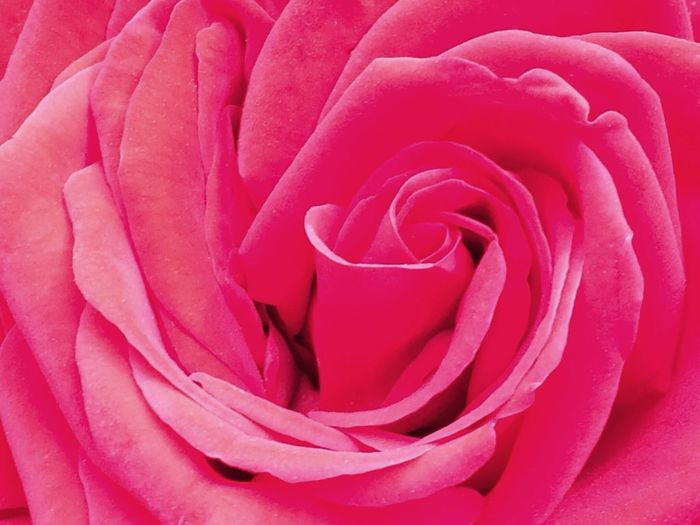 Color Palette Rose - Flower Close-up Beauty In Nature