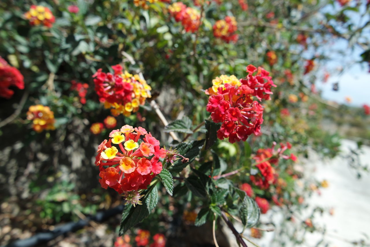 growth, nature, beauty in nature, plant, flower, outdoors, fragility, day, no people, focus on foreground, freshness, blooming, lantana camara, close-up, flower head, tree