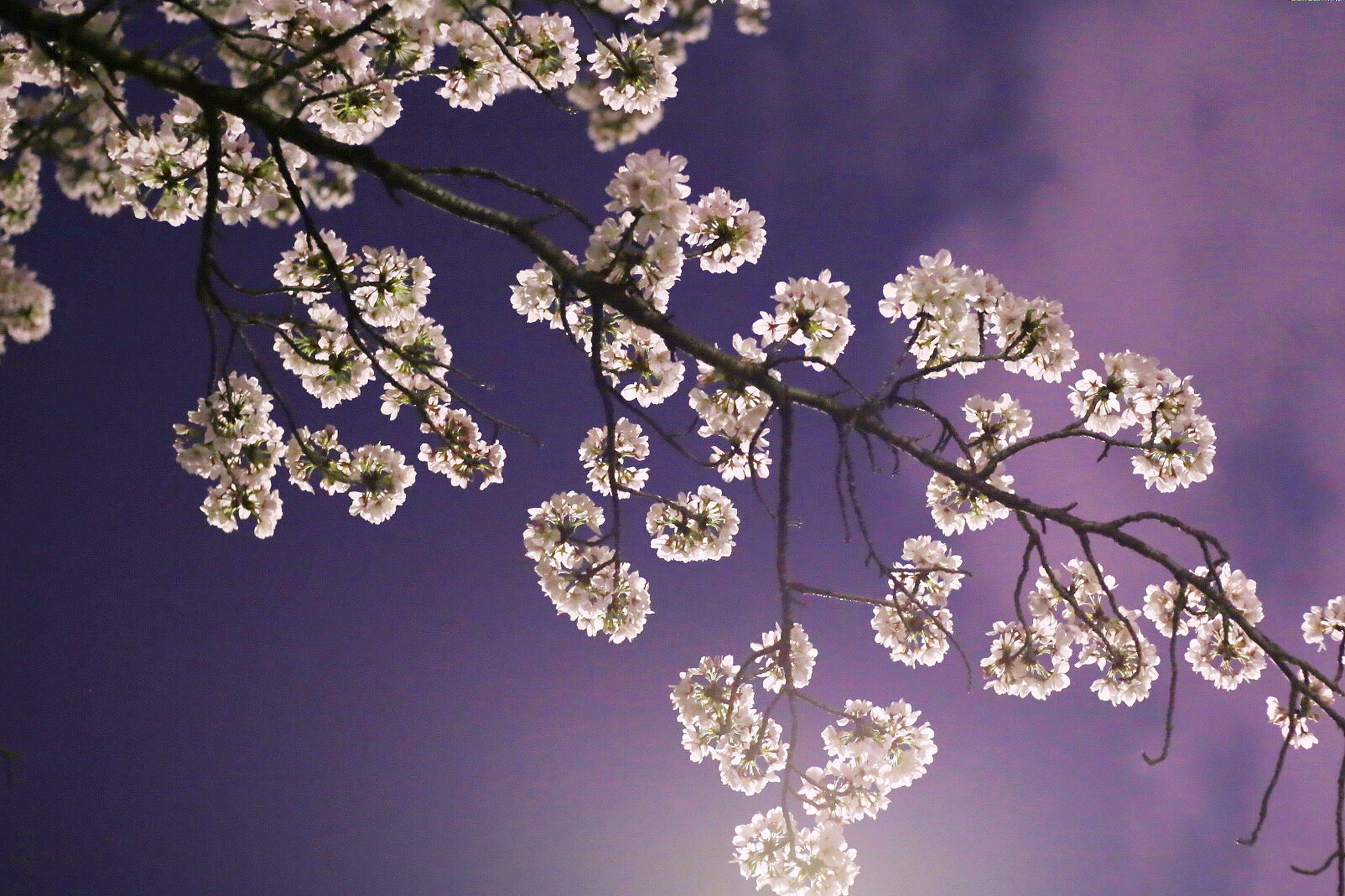 nature, tree, beauty in nature, no people, fragility, flower, close-up, low angle view, branch, growth, sky, outdoors, freshness, day