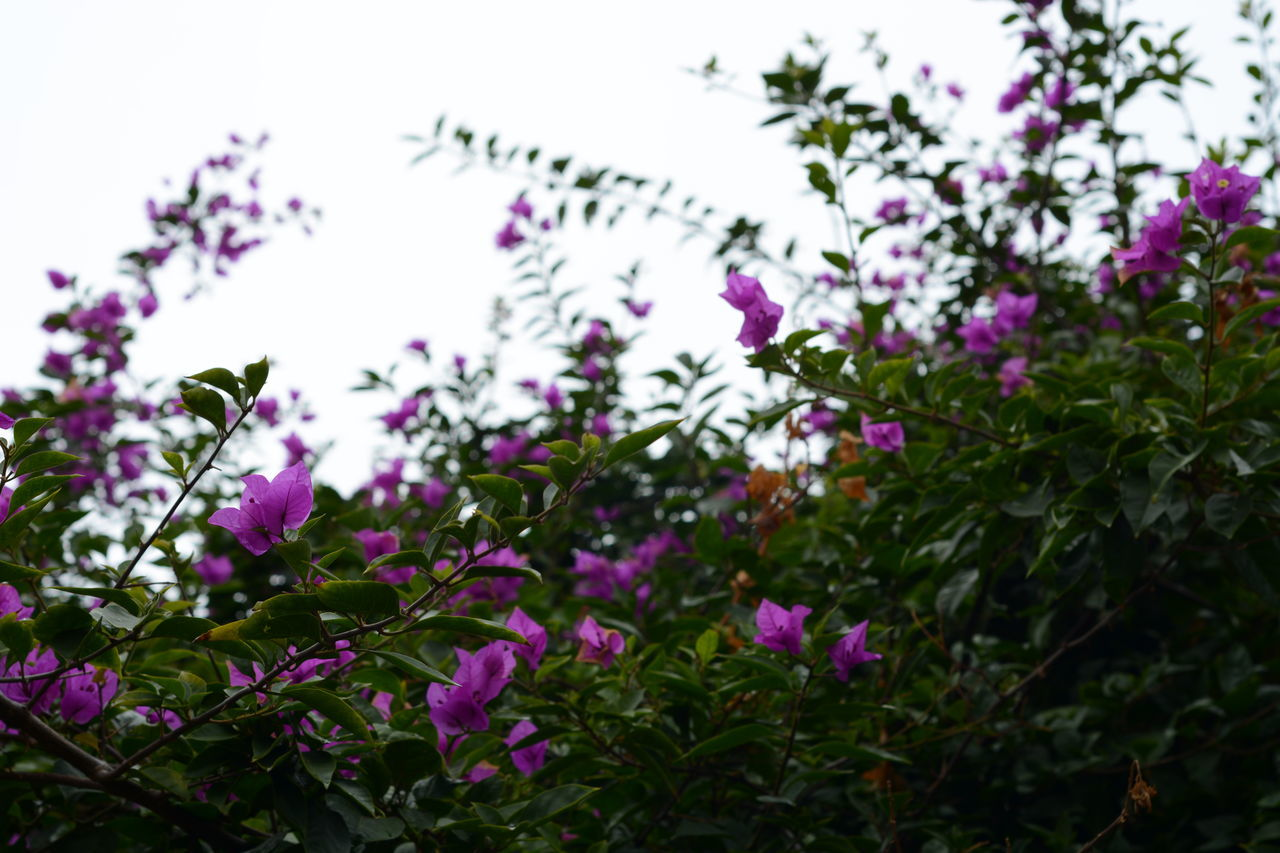flower, growth, purple, nature, fragility, plant, pink color, beauty in nature, low angle view, no people, outdoors, freshness, focus on foreground, day, tree, close-up, petunia, flower head, sky
