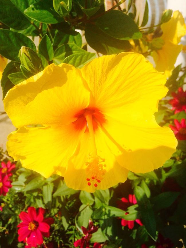 Single Hibiscus Flower Nature Photography Yellow Flower Biltmore Estate Love ♥ Love Of Flowers Capture The Moment Enjoying Life Hello World Tropical Foliage