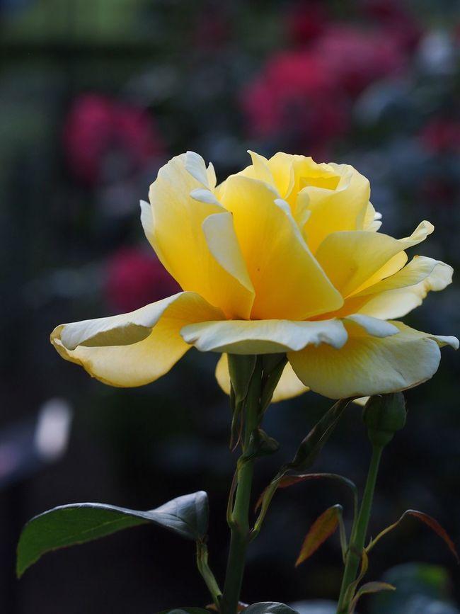 5月の🌹旧古河庭園にて Taking Photos Tokyo,Japan Light And Shadow Beauty In Nature EyeEm Best Shots - Nature Peace And Love Flowers,Plants & Garden Flowers, Nature And Beauty Blooming Rosé Relaxing
