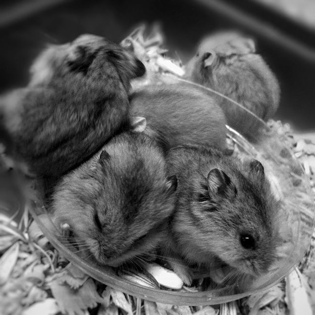 Ooohhh aaaahhhh.... Morning Morningactivity POTD Thursday breakfast seeds nuts hamster hamsters babyhamsters babyanimals pet fluffy blackandwhite blackandwhitephotography colorless world_bnw bw_awards insta_bw bnw_planet ae_bnw bnw bnw_society bwstyles_gf bnw_diamond bnw_life rsa_bnw