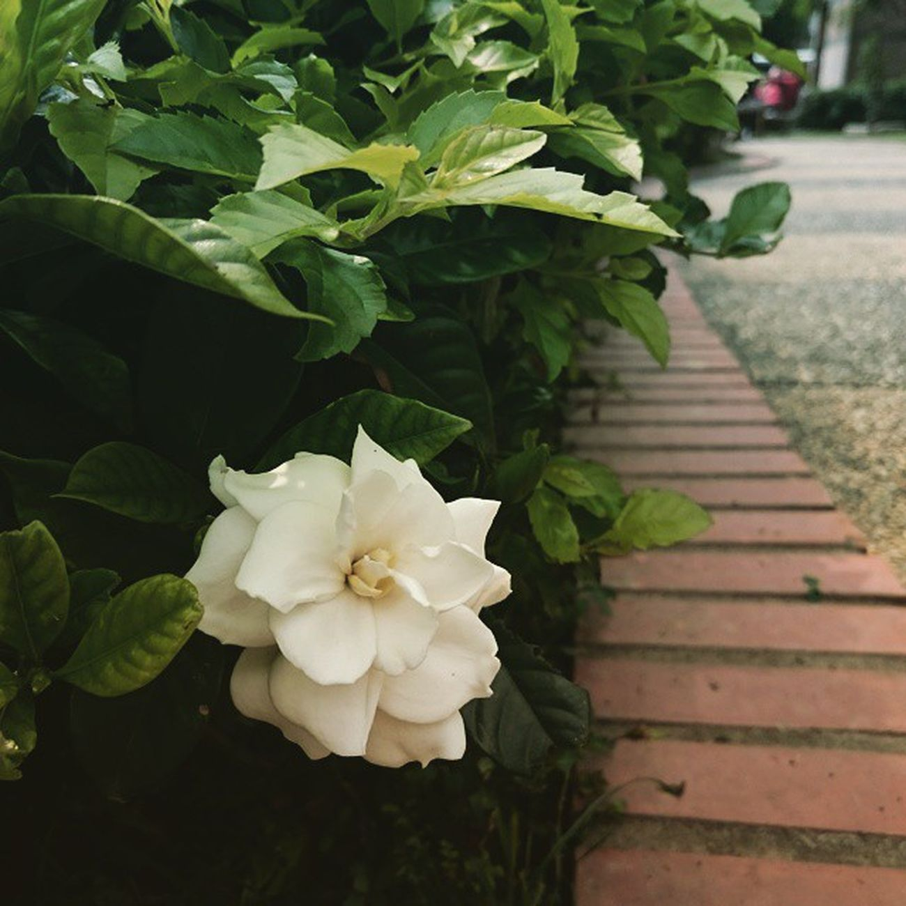 White Flower Blooming 白花 開花