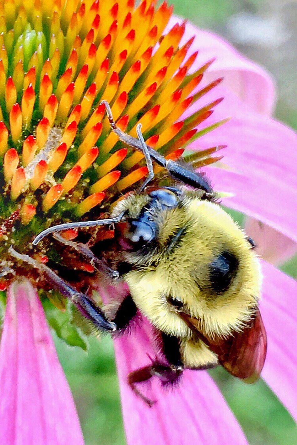 Bumble bee on coneflower. Ip6s, Camera+ Macro, edited in Enlight, Tadaa SLR and Snapseed. First Eyeem Photo