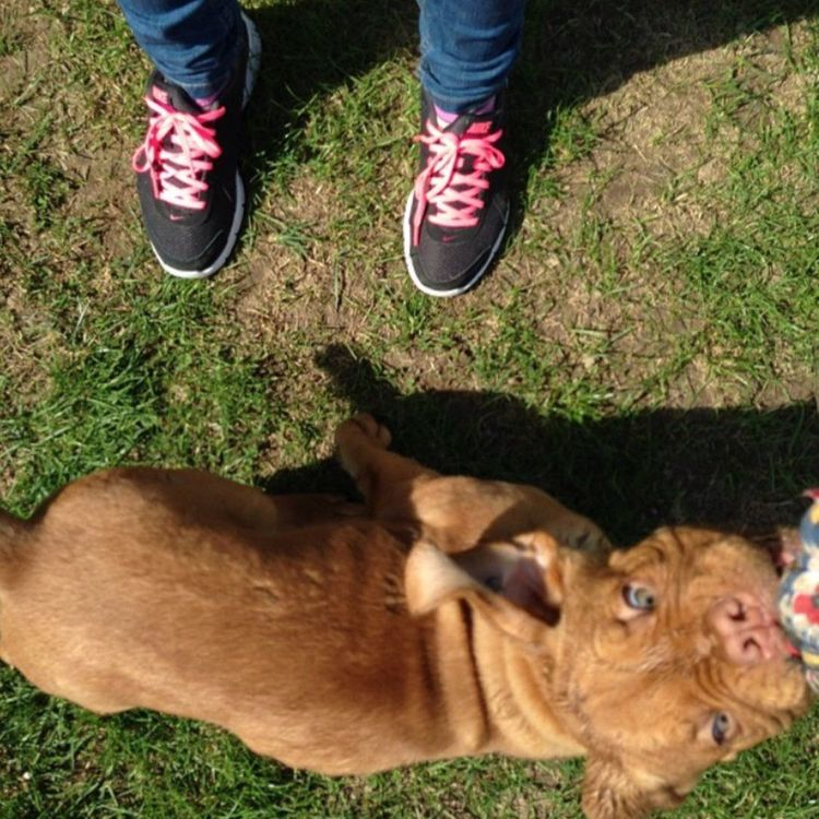 Baruch Dogue De Bordeaux French Mastiff Dog Life Dogstagram Dogslife Doggy Dog Love Dog❤ Dogs Of EyeEm Dog Walking Verysmall Biglove❤