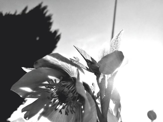 Flower, black and white Growth Nature Focus On Foreground Close-up Plant Sky Sunlight No People EyeEm Beauty In Nature EyeEm Gallery Eyeemphotography Concentric Plant Nature Flower Head Flower