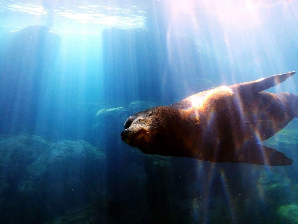 Swimming Underwater Sea Life Nature Mammal UnderSea Aquarium Life Aquatic Mammal Aquarium Photography Sealion  Aquarium Of The Pacific Long Beach, California USA