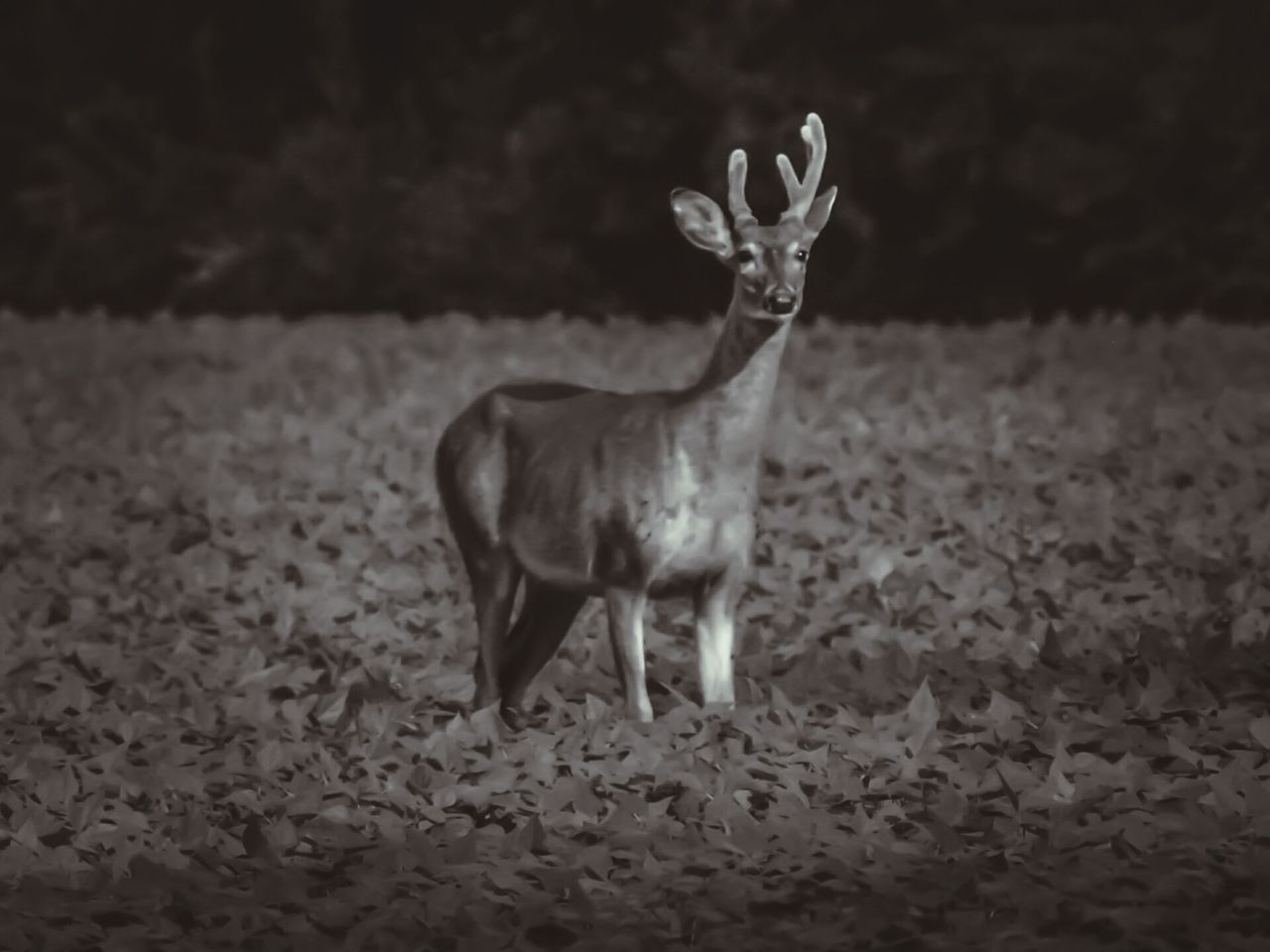 Deer Buck Antler Animals In The Wild Nature Outdoors Mammal One Animal Animal ThemesbBlack & White Black And White Photography Blackandwhite Animals In The Wild Animal Wildlife Animalphotography Animal_collection Animal Lover Gray And White Deer ♥♥ Deersighting Deers Nature Beauty Peace