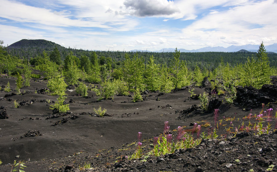 Young forest over black volcanic sand Agriculture Cloud - Sky Day Far East Growth Health Spa Kamchatka Landscape Nature No People Outdoors Russia Sky Tree