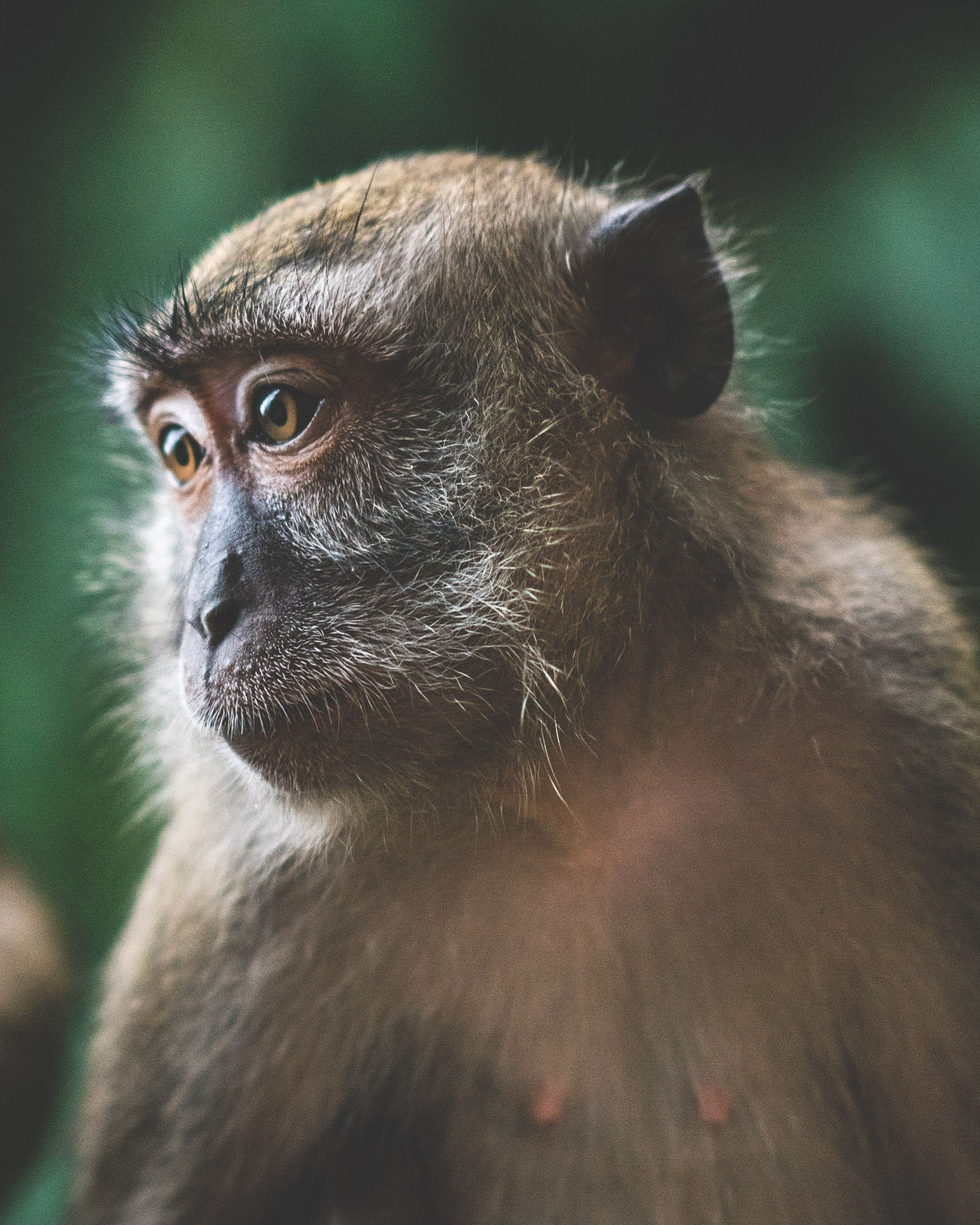 Humanish Primate Animal Themes Mammal Monkey Animals In The Wild Animal Wildlife One Animal No People Close-up Day Outdoors Ape Nature Traveling Travel Kuala Lumpur Showcase: March Malaysia ASIA Wanderlust Portrait