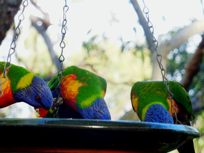 Rainbow Lorikeets are Hungry 🌾 Lorikeet Lorikeets Lorikeet Bird Rainbowlorikeet Bird Bird Photography Birds_collection Birdwatching Australia Eating
