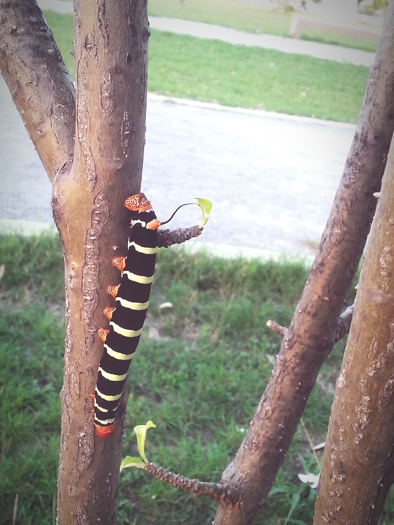 Caterpillar That's Me Taking Photos Relaxing Hi! Check This Out Enjoying Life Hanging Out Hello World Cheese! Red Black Yellow Loverofphotography EyeEm Nature Lover Nature Lover Vnmaphotography Beautiful Nature Beautiful ♥ Green Leaves Eyeemphotography Nature Trees