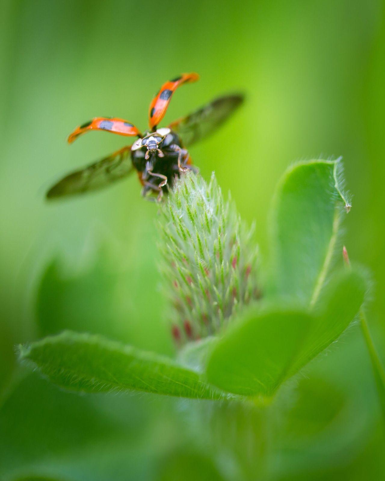 Beetles Beetle Ladybugmacro Ladybugs Photography Ladybug🐞 Ladybug Collection Ladybug😊😊🐞🐞🐞 Ladybugs Ladybug Colors Macro Beautiful Nature Macro Photography Nature Photography Flowers,Plants & Garden Beautiful Green Color Green Flowers, Nature And Beauty Flying Wings Take Off