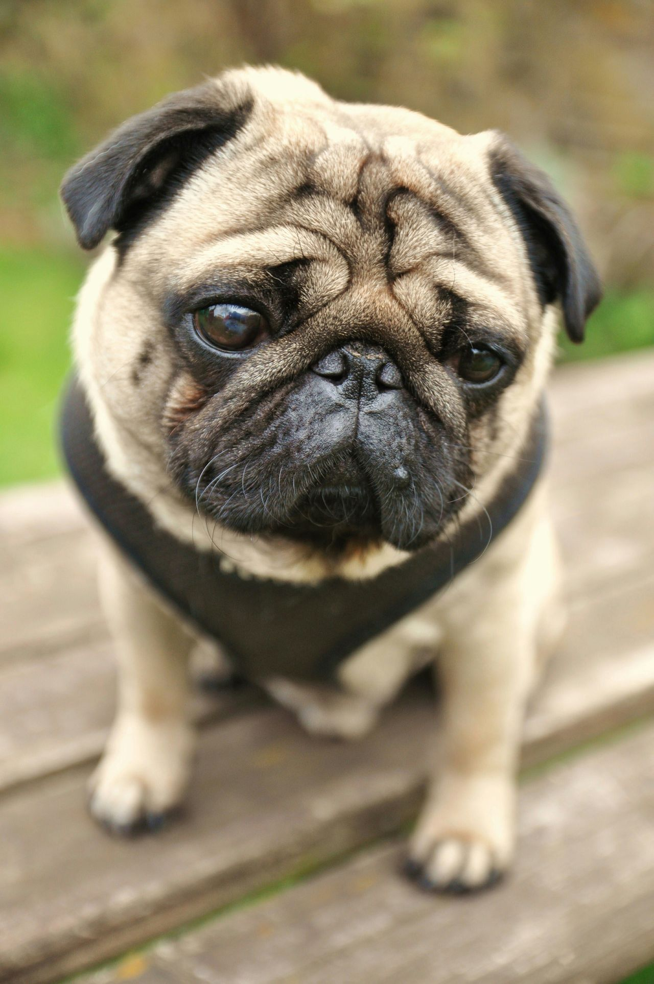 Beautiful stock photos of pugs, Animal Themes, Close-Up, Day, Dog