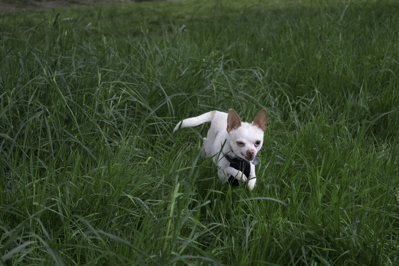 Animal Themes Chiuahua Dog Domestic Animals Field Grass Green Color One Animal Outdoors Pets Running Running Dog White Color