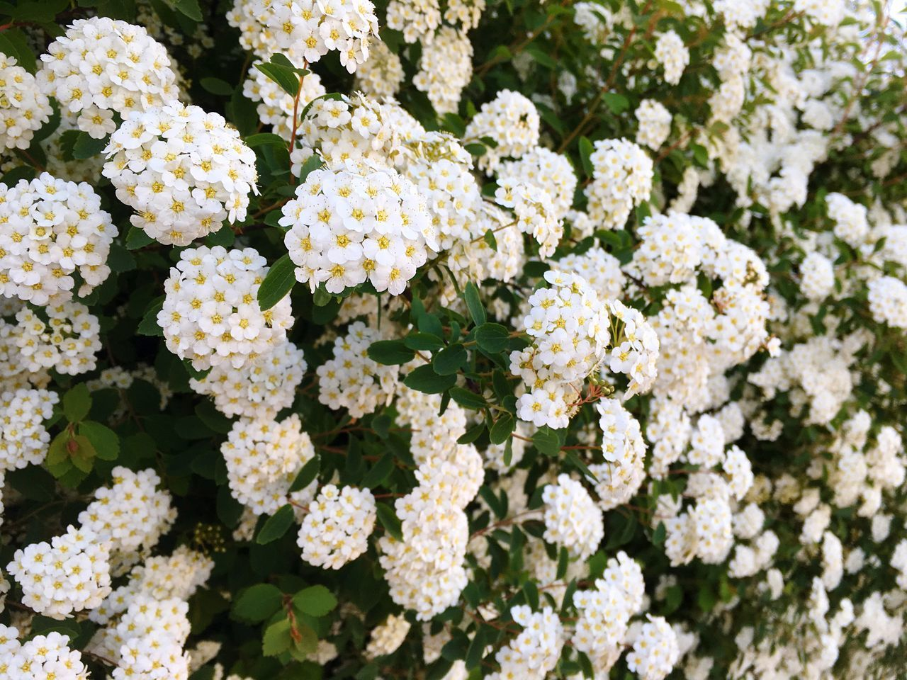 White flowers background Flower Growth Freshness Nature No People Outdoors Day Close-up Beauty In Nature Plant Backgrounds Fragility Flower Head Flowers Wallpaper Spring