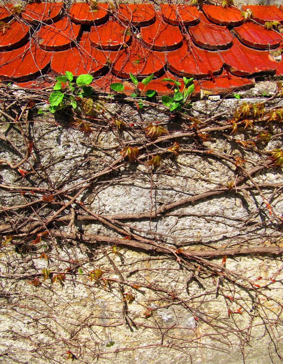 Curling Vine Tiles Wild Grapes Wild Grapes On The Castle Wall Crimea, Ukraine Crimea Castle