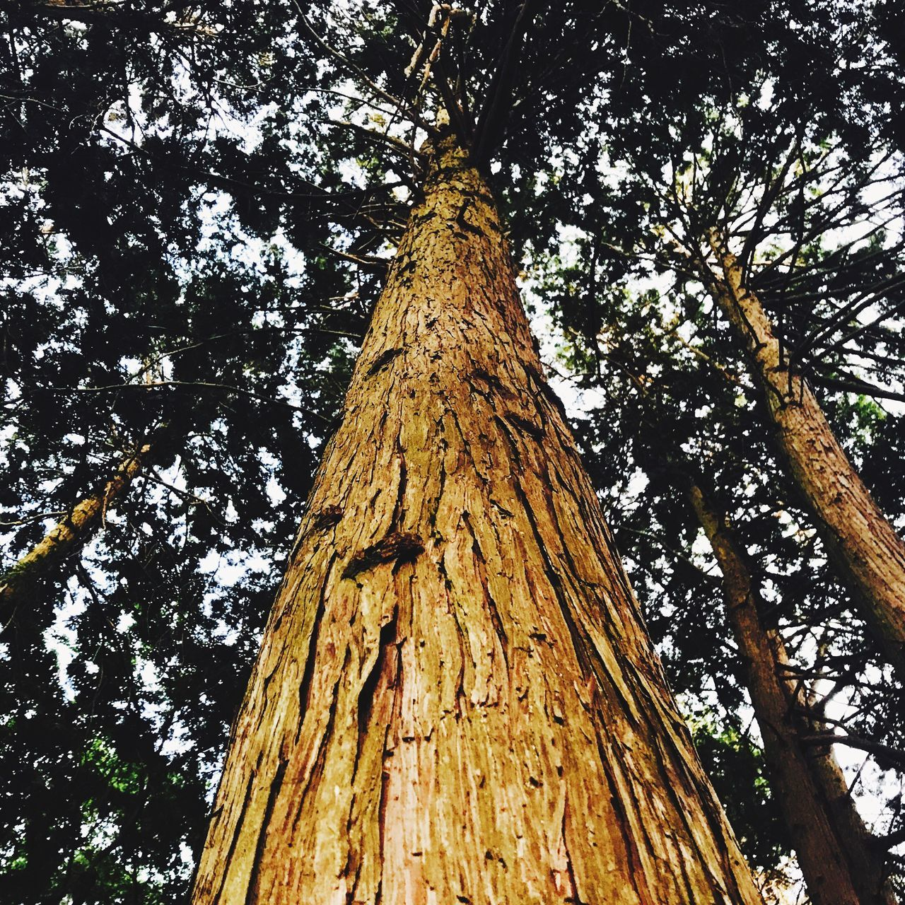 tree trunk, tree, low angle view, nature, bark, growth, day, branch, outdoors, no people, textured, wood - material, tranquility, forest, beauty in nature, close-up, sky