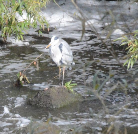 Heron spotted on Tees at Croft Nature