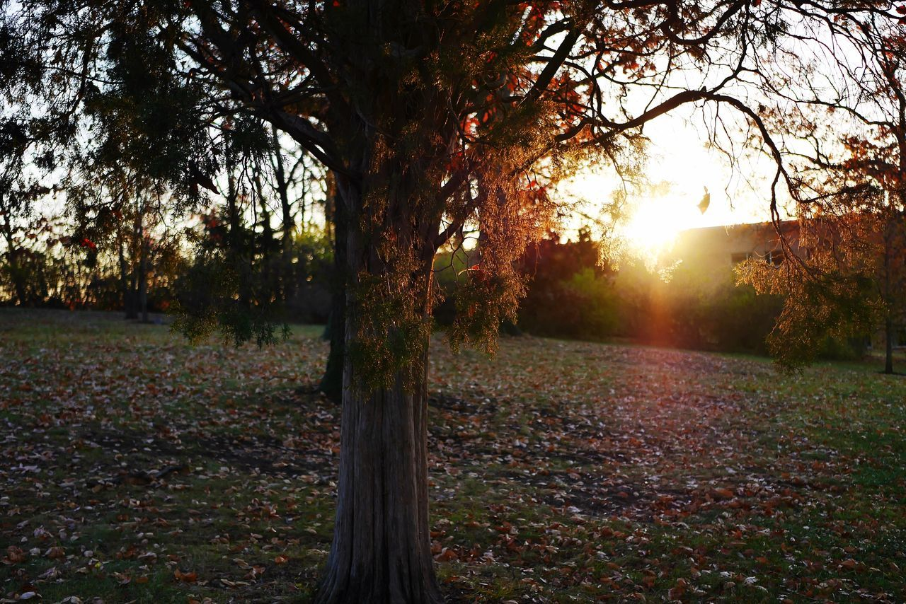 tree, autumn, change, nature, tranquility, leaf, scenics, tranquil scene, beauty in nature, sunbeam, no people, outdoors, sunlight, lens flare, growth, tree trunk, field, idyllic, day, fallen, forest, branch, landscape, grass, sky, maple