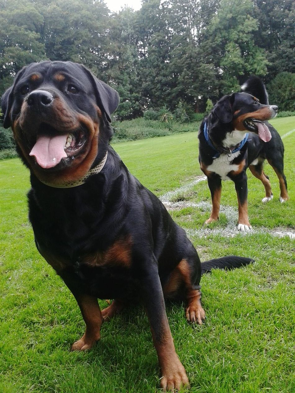 Beautiful stock photos of rottweiler, Animal Themes, Day, Dog, Domestic Animals