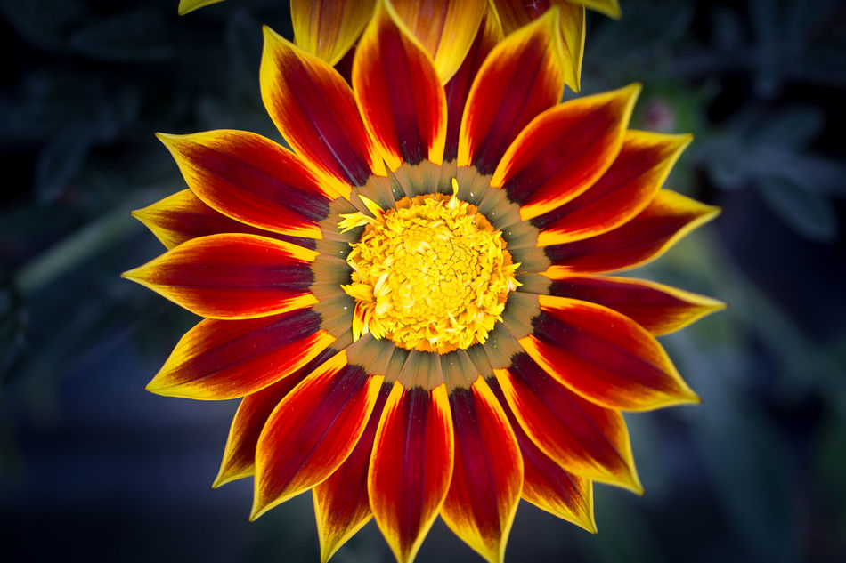 As a sun Blossom Close-up Colorful Flower Flower Head Flowers No People Outdoors Petal Pollen Red Yellow Stamen