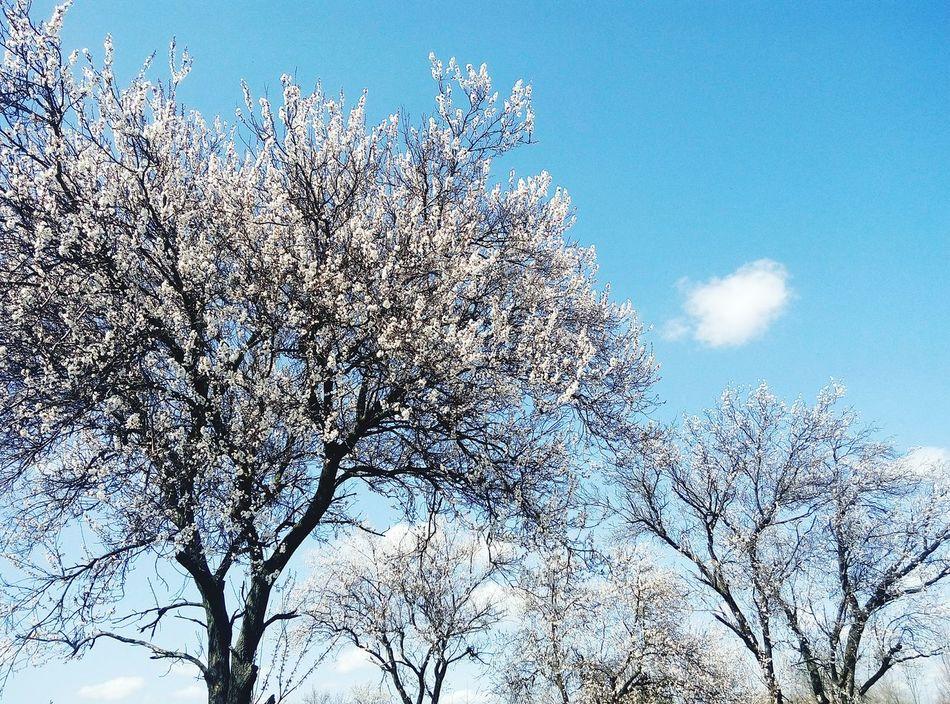 деревьяцветут Весна💐🌷🌿 просто фото тепло😍 природа🍃 солнышко 🌞 небо⛅️ Tree Nature Sky Growth Low Angle View Springtime Outdoors No People Day Close-up Beauty In Nature Branch Freshness