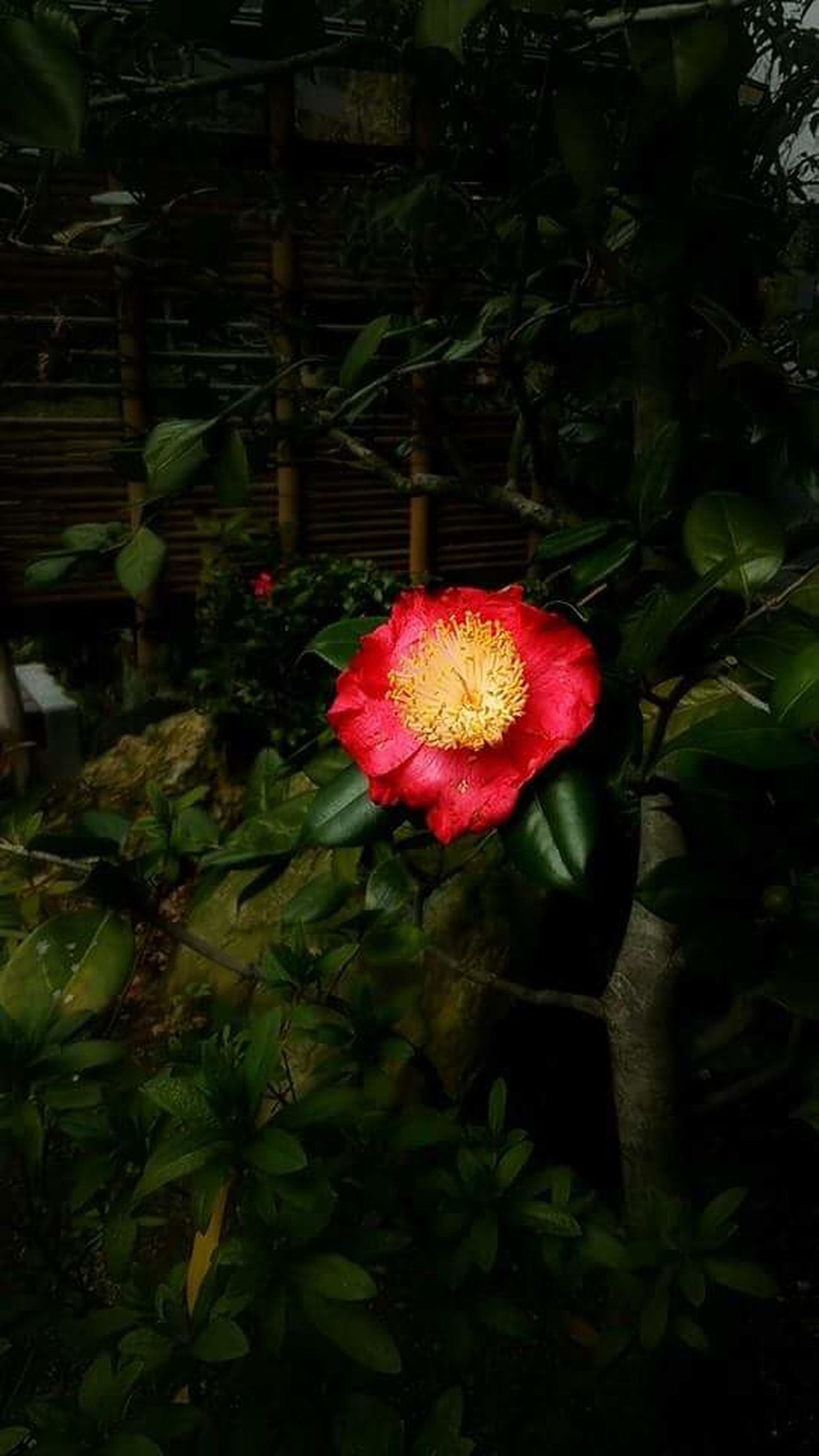 Taking Photos AndroidPhotography Flower Collection Camellia Red Flower