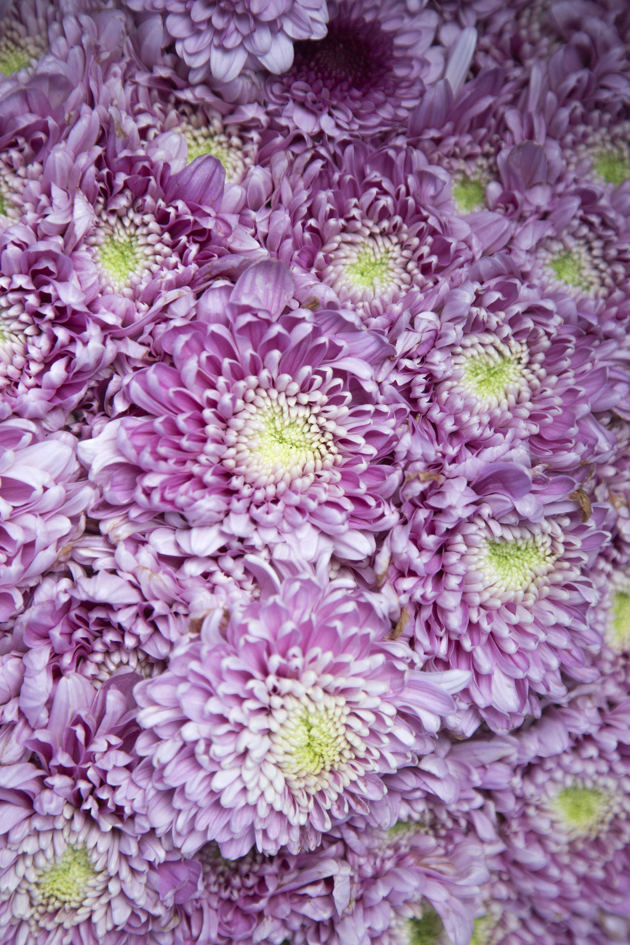 Backgrounds Beauty In Nature Close-up Dahlia Day Flower Flower Head Fragility Freshness Full Frame Growth Nature No People Outdoors Petal Pink Color Purple