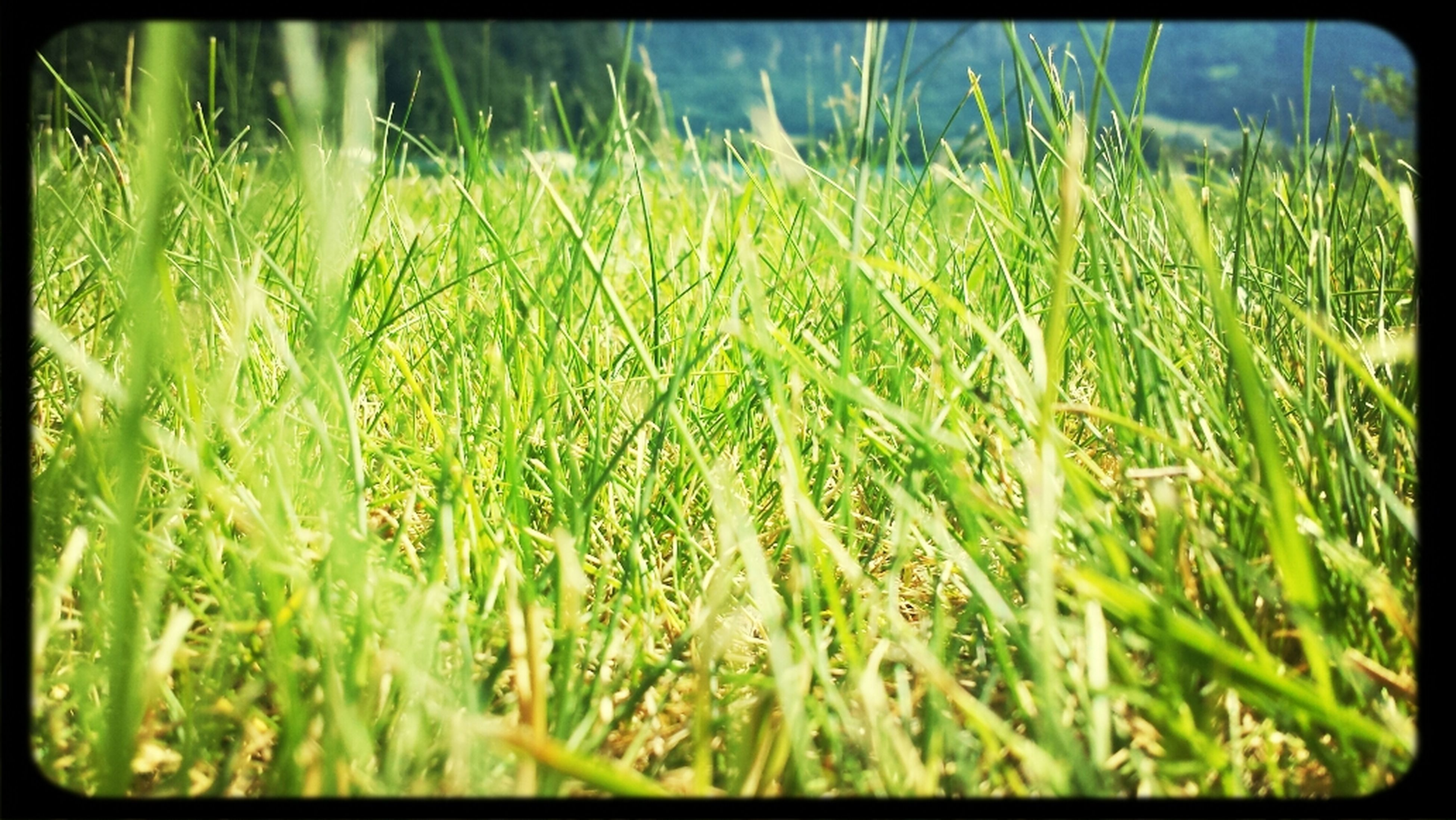 transfer print, auto post production filter, growth, grass, field, plant, nature, green color, beauty in nature, close-up, tranquility, selective focus, freshness, growing, day, outdoors, blade of grass, no people, green, focus on foreground