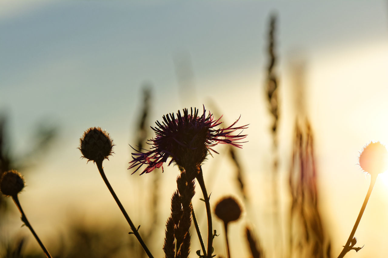 Beauty In Nature Close-up Day Dried Plant Dry Flower Flower Head Focus On Foreground Fragility Growth Nature No People Outdoors Plant Sky Sunset Thistle Wilted Plant