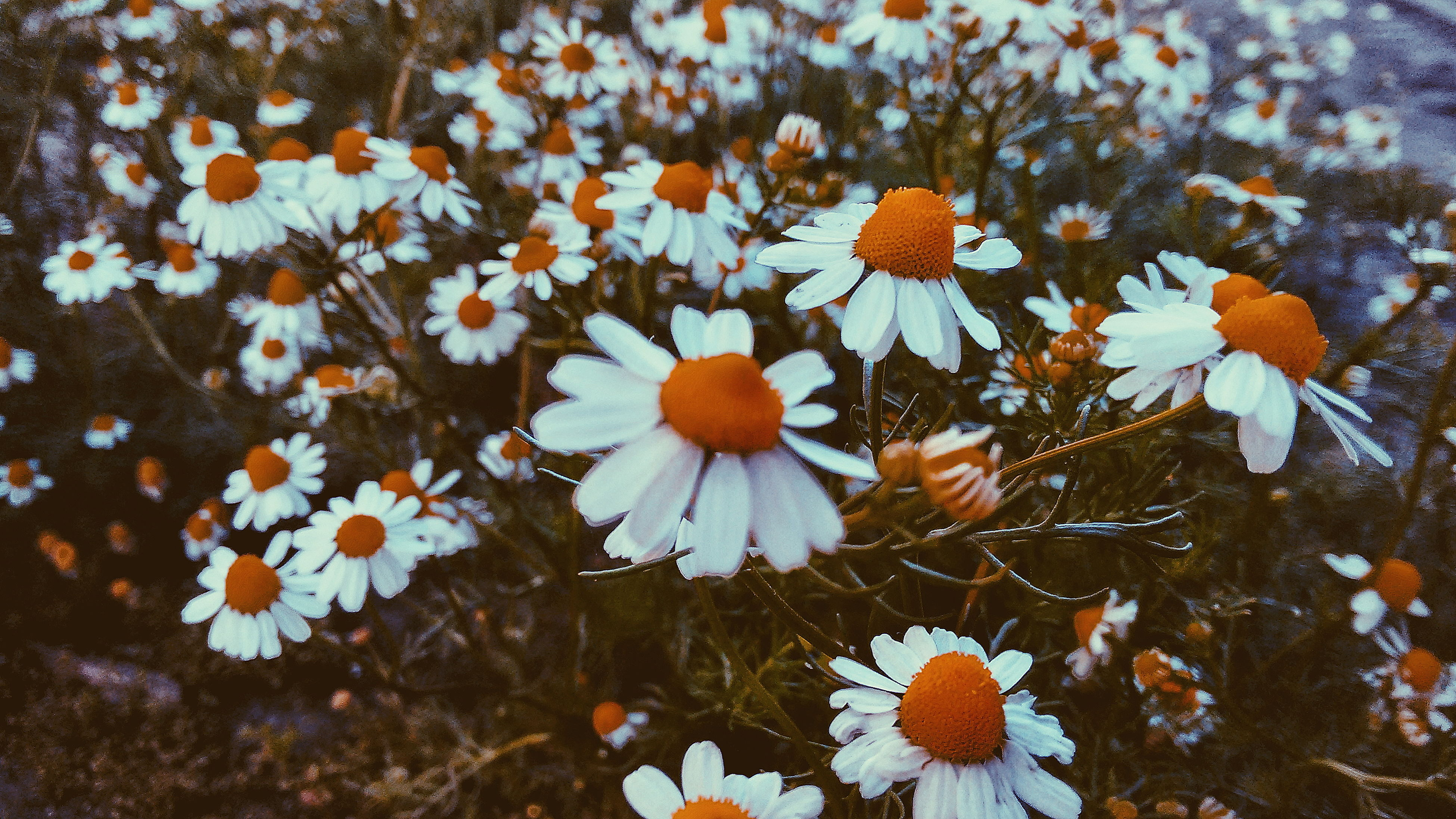 nature, flower, fragility, no people, beauty in nature, growth, outdoors, day, flower head, freshness, close-up